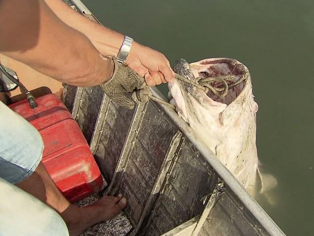 Mero de 150 quilos é encontrado boiando próximo ao Porto de Santos (Foto: Reprodução/TV Tribuna)