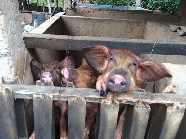 Os porcos que antes tomavam água do #riodoce agora bebem água que a defesa civil manda para o dono do terreno.  (Foto: Flávia Mantovani/G1)