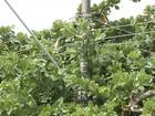 Moradores temem acidentes com árvores perto de fios de energia