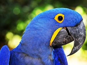 Arara-azul-grande está ameaçada pelo desmatamento e tráfico de aves (Foto: Rudimar Narciso Cipriani)