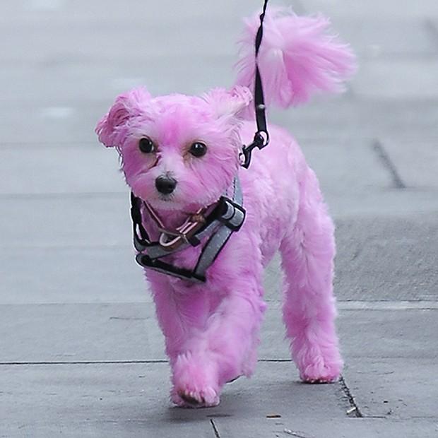 Darcy, a cadela de Emma Watson (Foto: Grosby Group)