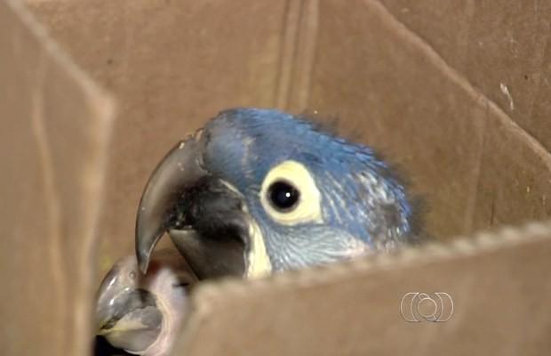 Filhotes de arara-azul encontrados em casa em Aparecida de Goiânia, Goiás (Foto: Reprodução/ TV Anhanguera)