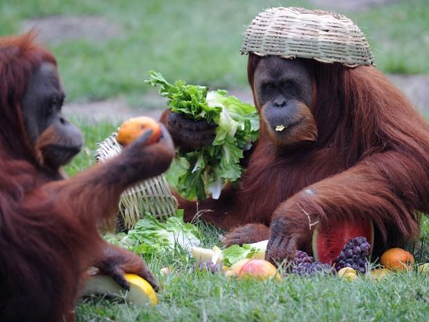 Orangotangos viram cestas na cabeça  (Foto: Guilherme Tosetto/ G1)