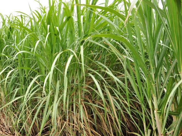 Produção de cana-de-açúcar em Mato Grosso do Sul (Foto: Anderson Viegas/Do Agrodebate)