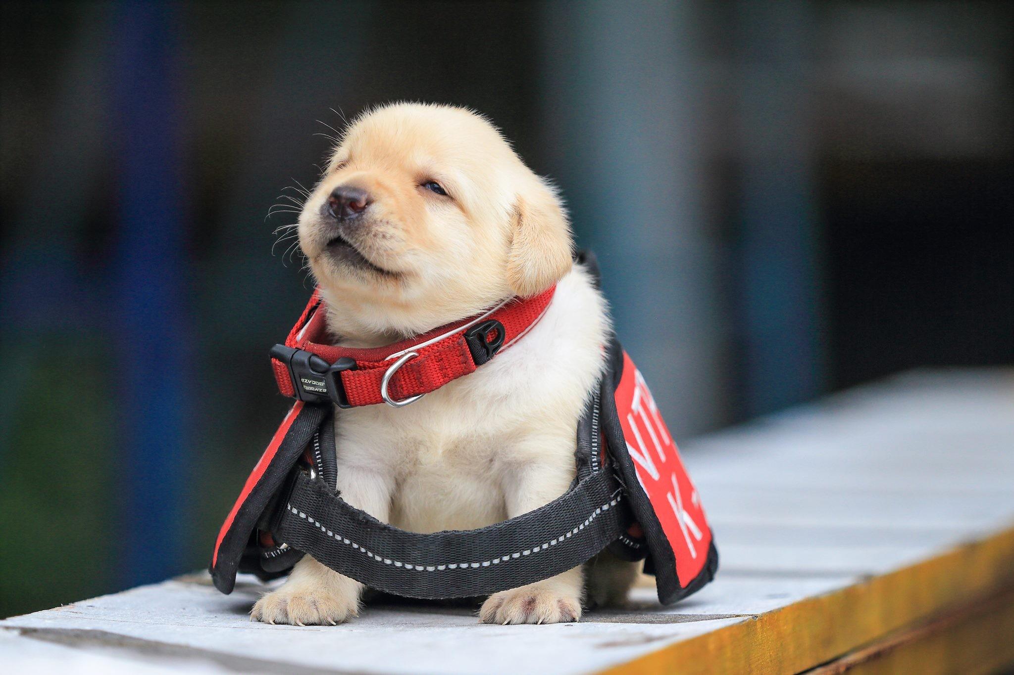 Os cãezinhos serão treinados para uma unidade especial canina da polícia de Taiwan (Foto: Reprodução/ Facebook NPA)