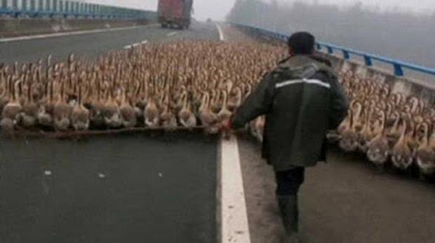 Para poupar dinheiro com transporte, chinês levou bando de mais de 1.300 gansos por rodovia (Foto: Reprodução/YouTube/CCTV News)