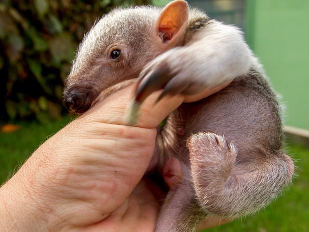 Filhote de tamanduá-mirim nasceu no Zoo de SP. (Fot Carlos Nader/ GOVSP)