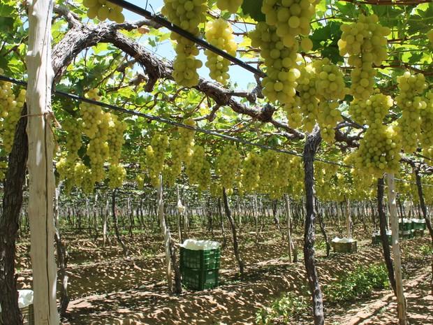 Exportação de frutas no Vale do São Francisco deve sofrer redução (Foto: Amanda Franco / G1)