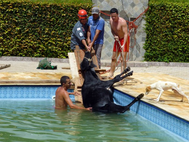 Bombeiros usaram cordas e tábua para retirar animal da piscina (Foto: Corpo de Bombeiros de Poços de Caldas)