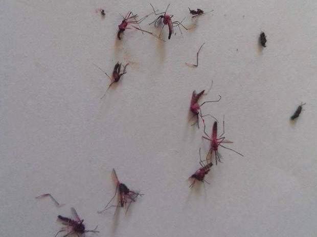 Aedes colorido em Piracicaba (Foto: Debora Santos Zambello/Arquivo pessoal)