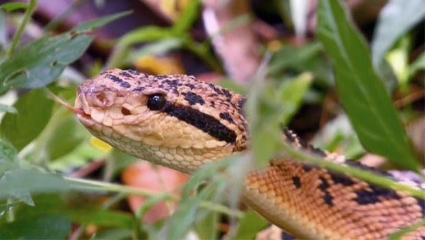 Essa serpente vive em áreas florestadas com solo úmido (Foto: Arquivo TG)