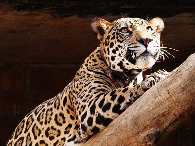 A onça-pintada Felipe será solto em seu habitat natural (Foto: Divulgação/ONG Mata Ciliar)