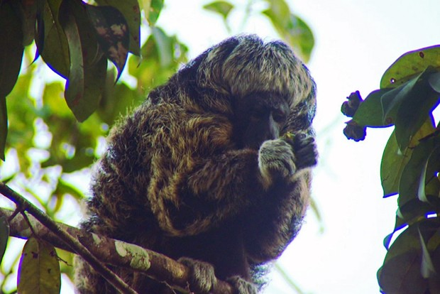 Este animal habita a floresta amazônica em sua parte mais densa (Foto: Arquivo TG)