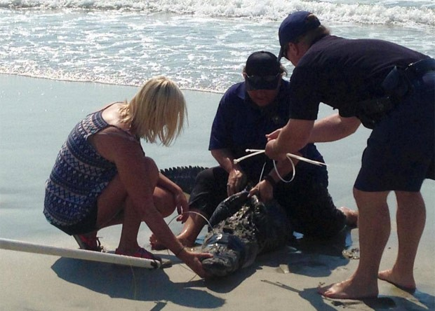 Jacaré de mais de 2 metros foi capturado em praia de Pawleys Island (Foto: Reprodução/Twitter/Pawleys Island PD )