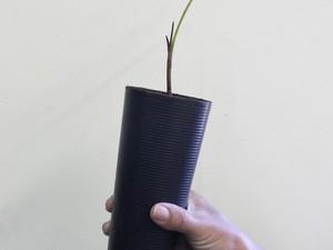 As mudas de plantas nativas da Mata Atlântica são cultivadas dentro dos cones de linha. (Foto: Divulgação)