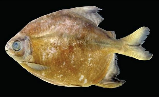 A piranha 'vegetariana' Tometes camunani (Foto: Marcelo C. Andrade / Tommaso Giarrizzo / Michel Jégu/Tropical Ichtiology)