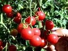 Embrapa lança variedade de tomate cereja mais resistente às pragas