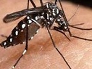 Mosquito da dengue (Foto: Divulgação)