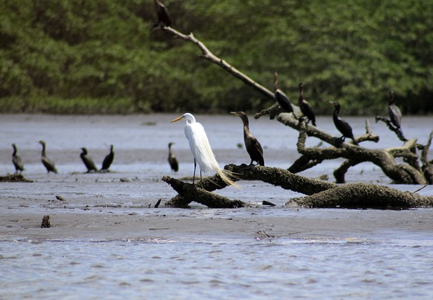 Aves na Baía de Guanabara (Foto: Yuri Menezes)