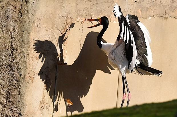Cegonha parecia brigar contra a própria sombra em zoo alemão (Foto: Martin Meissner/AP)