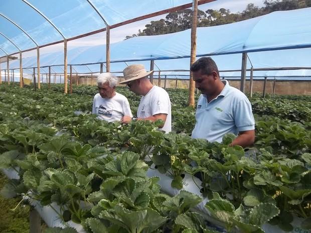 Cultivo de morango suspeso gera menos perda da fruta (Foto: Paulo Filgueiras / Divulgação)