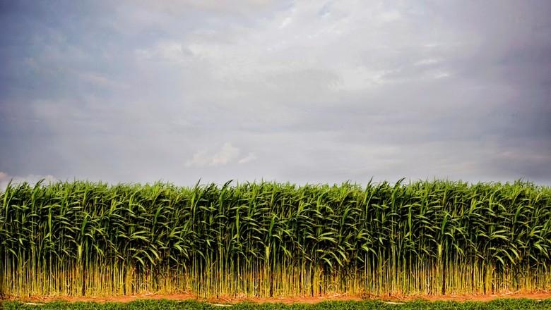agricultura_sorgo_biomassa (Foto: Divulgação)