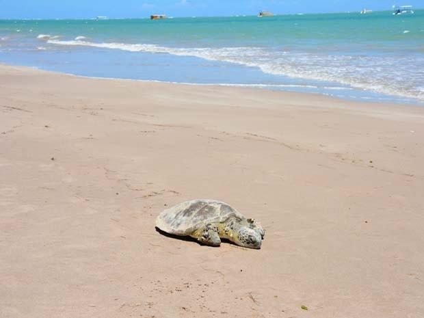 Uma tartaruga marinha foi encontrada morta nas areias da praia de Camboinha, em Cabedelo, Paraíba, no final da manhã desta segunda-feira (9). Banhistas afirmam que o animal estava no local desde ontem (8) à noite. (Foto: Walter Paparazzo/G1)