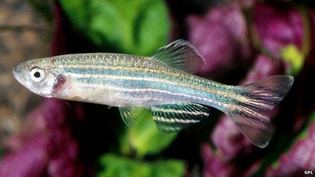 Cientistas usaram o peixe paulistinha, ou peixe-zebra, para estudo (Foto: SPL)