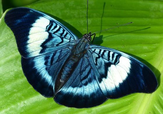 Esta borboleta Panacea prola foi fotografada no Equador, mas também existe em território brasileiro (Foto: © Andrew Neild)