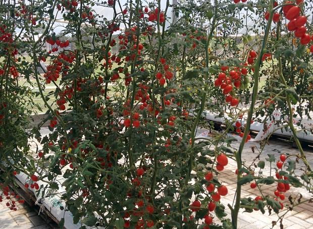 isla-sementes-super-colheita-evento-viamao-fazenda-horta-tomates.jpg (Foto: Stéphanie Durante)