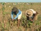 Parceria de produtores e agricultores garante boa safra de feijão no MA
