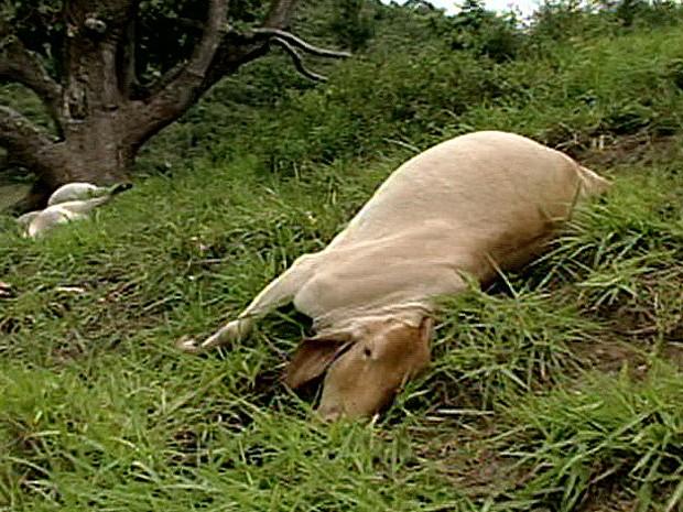 Vaca morreu atingida por um raio, em Colatina (Foto: Reprodução/TV Gazeta)