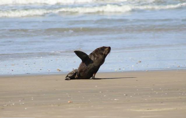 No sábado (1), outro leão-marinho 'saudou' visitantes na Praia de Itapirubá, no Sul de SC (Foto: Julio Cesar Vicente/AGTA)