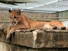 Onça parda de Porto Velho poderá ser adotada por zoológico do Acre