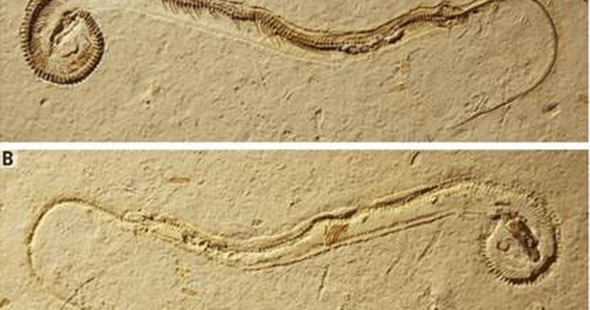 Brasileiros questionam como fóssil de cobra com patas chegou à Alemanha