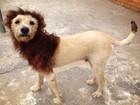Moradora faz cachorro virar leão para agradar os filhos em São Carlos, SP
