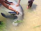Moradores alimentam peixe-boi encontrado em praia de Olinda