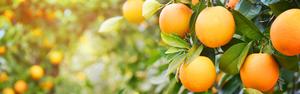 Safra da laranja será de 365 milhões de caixas em SP e MG