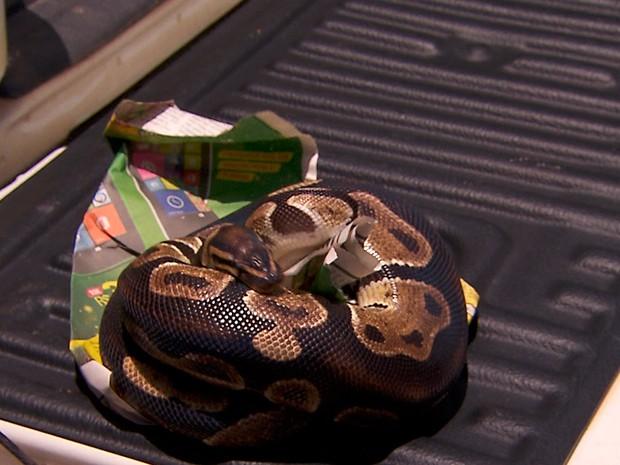Serpentes estavam entre os animais apreendidos (Foto: Reprodução/TV Globo)