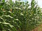 Chuva ajuda e produtores de SE comemoram a safra do milho verde