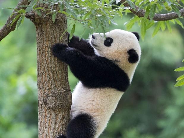 A panda de 1 ano de idade escala o tronco com agilidade em seu cercado no zoo de Wasington (Foto: Pablo Martinez Monsivais/AP)