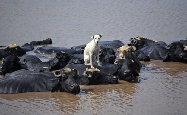 Um cão foi flagrado nesta terça-feira (28) sobre as costas de um búfalo que estava no rio Ravi, em Lahore, no Paquistão. (Foto: Mohsin Raza/Reuters)