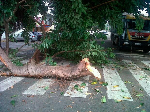 Queda de árvore ocorreu na rua Apodi perto do cruzamento com a avenida Afonso Pena (Foto: Michelle Rincon/Inter TV Cabugi)
