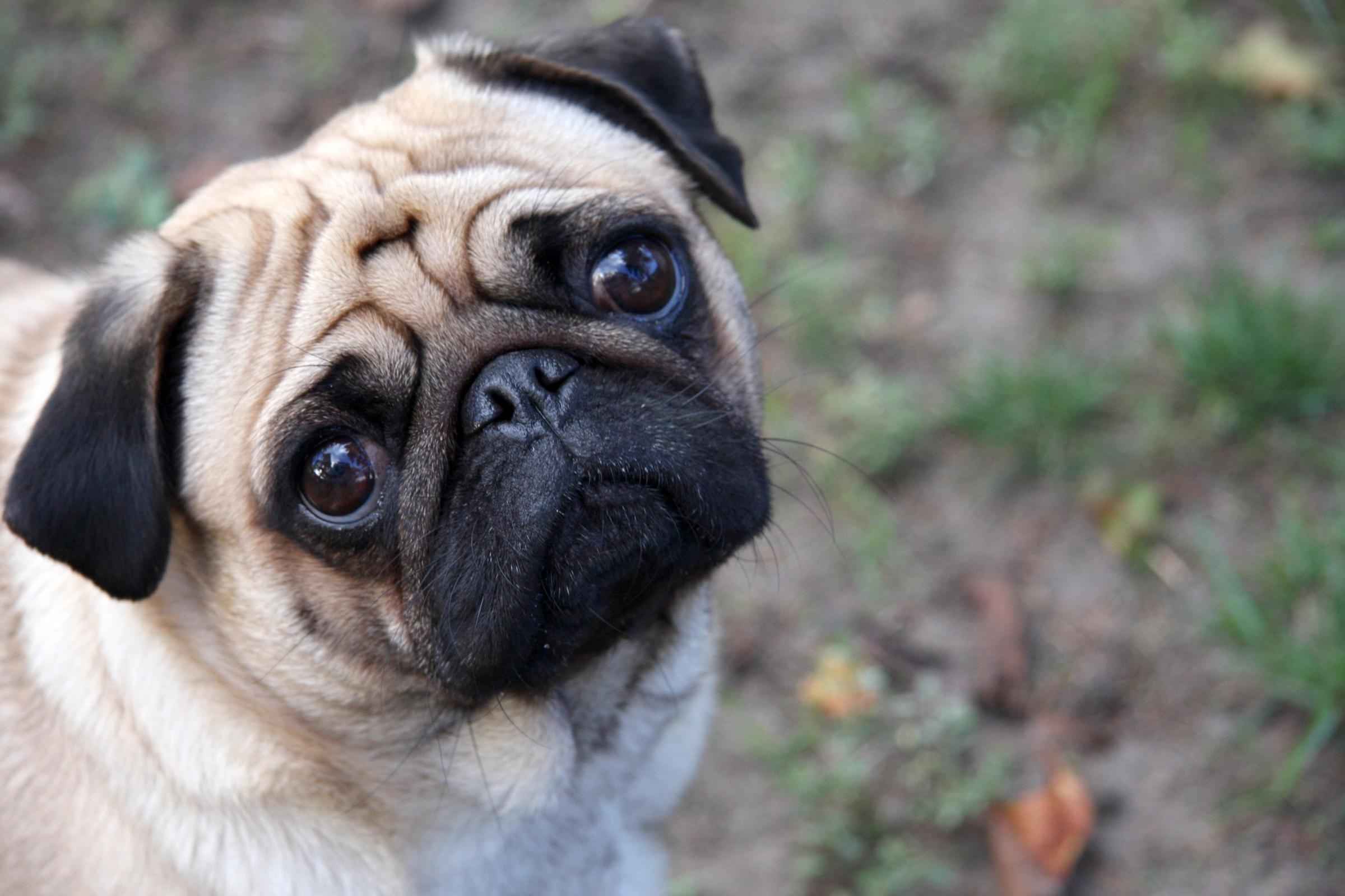 Cachorros também podem ser pessimistas