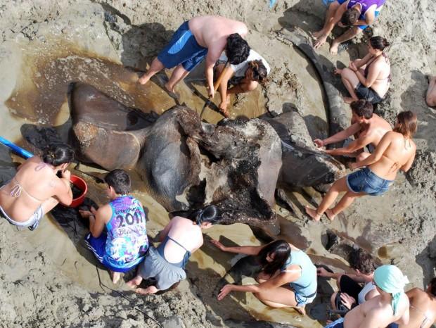 Estudantes tentam retirar os ossos da areia (Foto: Divulgação/Unesp)