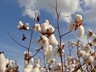 Mais de 90 fazendas de algodão de MT foram auditadas pela ABNT em 2015