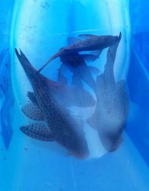 Peixes resgatados no Rio Doce, no ES, começam a ser soltos em lagoas Img_00951