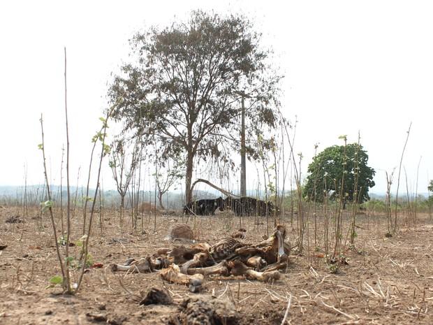 Animais mortos vítimas da seca em Glaucilândia (Foto: Valdiran Veloso/G1)