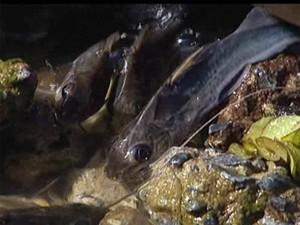 Peixes ficaram presos em trecho com obras (Foto: Reprodução/TV Integração)