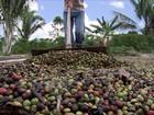 Estiagem afeta as lavouras de café conilon em RO e safra será menor